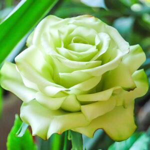 Роза чайно-гибридная Супер Грин