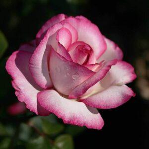 Роза чайно-гибридная Атлас