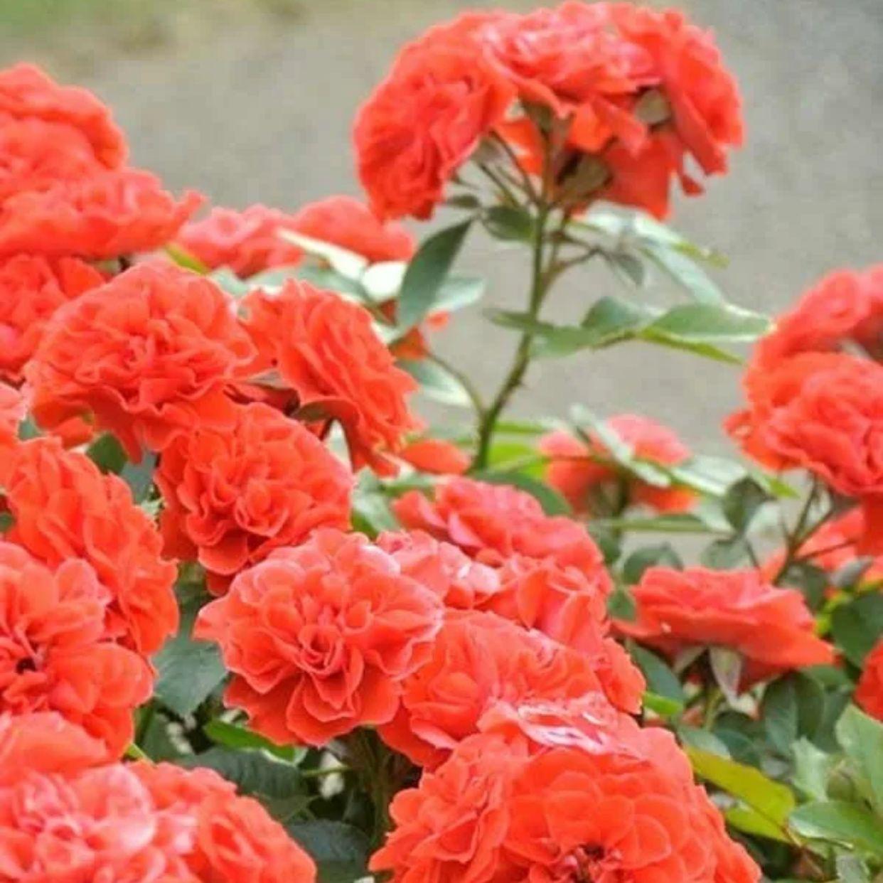 Роза Гримпант Оранж Мейландина плетистая (2)