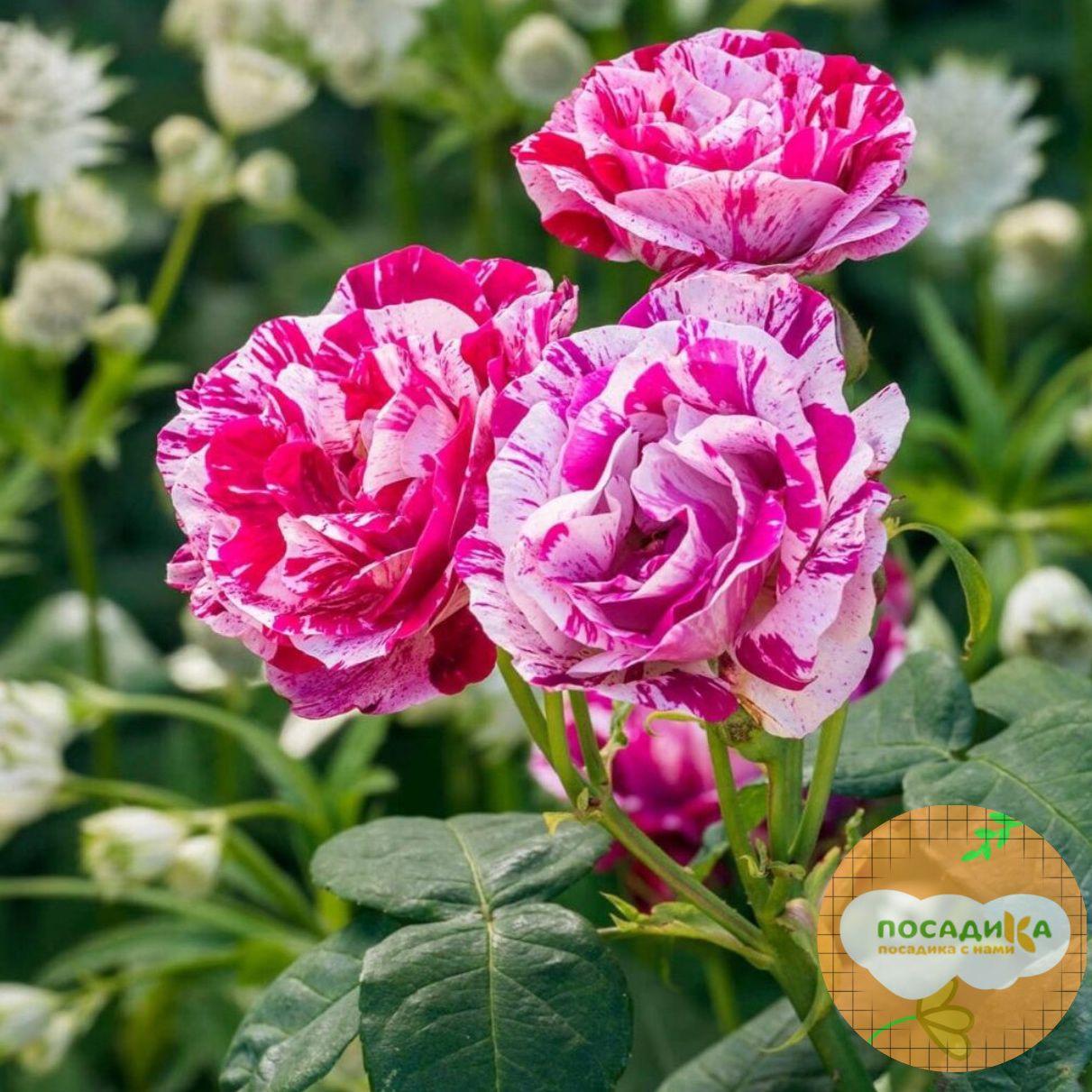 Роза парковая Фердинанд Пичард