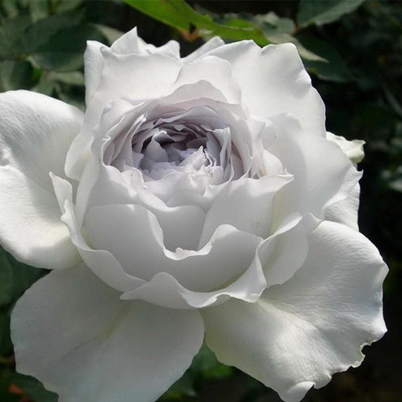 Роза Флорибунда Габриэль (2)