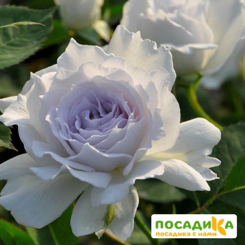 Роза Флорибунда Габриэль